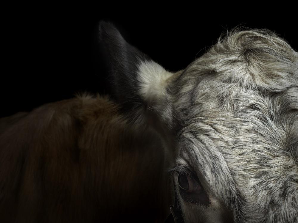 TUUKKA KOSKI_THOMAS TREUHAFT_PHOTOGRAPHY_sj_lehmat_Portrait_Animals